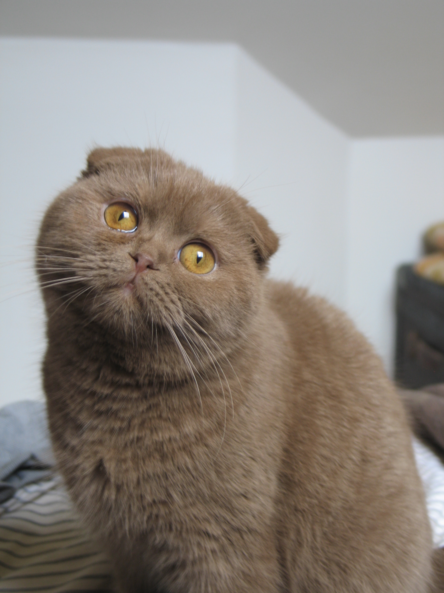 The gallery for british shorthair cinnamon - Prix chat munchkin ...
